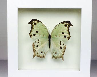 Framed Butterfly Protogoniomorpha Parhassus Wooden Frame Entomology Insect Art