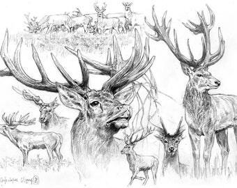 Study of animals - deer Red