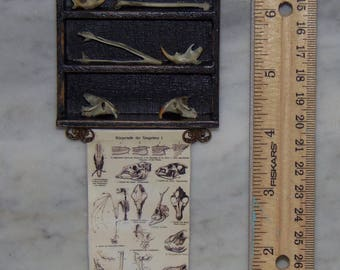 Real Bones for 1:12th Dollhouse.  Display.  Science.  Chart and Shelf of Bones.