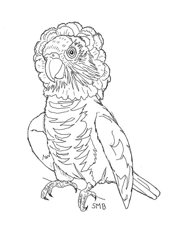 Sally Blanchard Pen and Ink Portrait Drawing of a Hawk-head Parrot on acid free paper - one of a kind