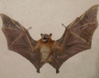 SPREAD CYNOPTERUS MINUTUTS Real Taxidermy bat