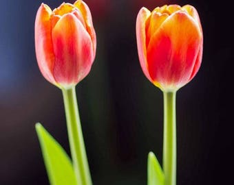 Tulips - Fine art photography print