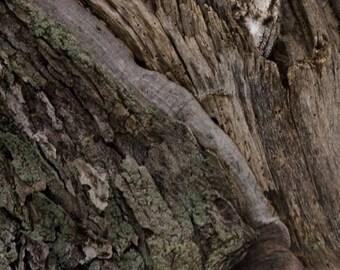 "Camouflage - Eastern Screech Owl - 8""x12"" Canvas Photo Print"