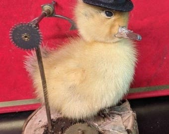 Taxidermy steam punk duckling  ready now!