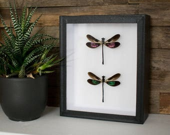 Pink and green metallic dragonflies in museumbox