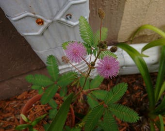 Mimosa Pudica - Sensitive Plant - Shameplant - Live Plant