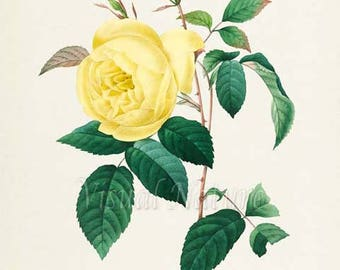 Yellow Rose Flower Art Print, Botanical Art Print, Flower Wall Art, Flower Print, Floral Print, Garden, Redoute Art, yellow, Rosa Indica