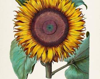 Botanical Print, Botanical Art, Sunflower Flower Art Print, Botanical Art Print, Flower Wall Art, Flower Print, Home Decor, yellow