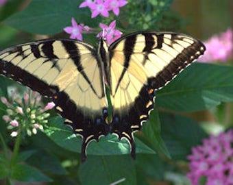 Tiger Swallowtail (1) - 55001007