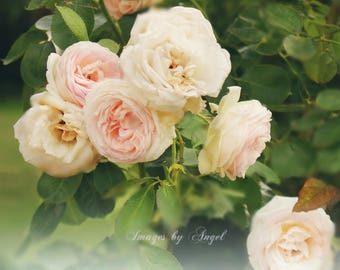 Pale Roses Fine Art Photo - JPG Image Download - Printable Art - Pink Roses - French Roses - Charante France photos - French Country Decor