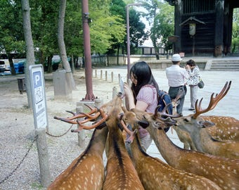 Hungry Deer in Nara Park - Nara