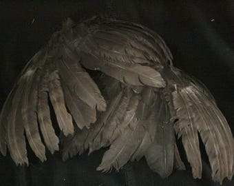 Black Wings: Real Dried Wings, Non-Toxic - gallus gallus domesticus  CH066