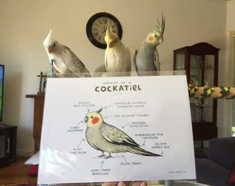 Anatomy Of A Cockatiel A4 Signed Print