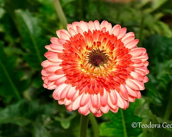 Candy Cane-Colored Gerbera Flower Photography, Wall Print, Botanical Photography, Flower Photography, Garden Photography