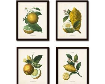 French Citrus Prints No. 1, Botanical Prints, Botanical Print Set, Giclee, Lemon Prints, Gallery Wall Art, Farmhouse Decor, Kitchen Art