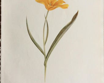 VINTAGE BOTANICAL PRINT, Dykes Notes on Tulip Species, 1st Edition, Tulip Lithograph, 1930