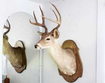 Texas White Tail Big Buck Taxidermy Wall Shoulder Mount Vintage Deer, 7-point, man cave decor, rustic home, country cabin, hunting lodge