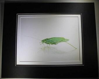 Original Katydid insect drawing