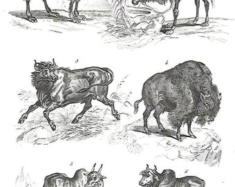Camel, dromedary, Buffalo, animals, Buffon, antique print, ' 800