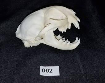 """Grade A 5"""" Bobcat Mammal Skull - Real Animal Skeleton / Fossil / Taxidermy / Bones / Bone / Teeth"""