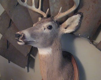 Vintage White Tail Buck 10 Point Antlers Taxidermy Mount Cabin Hunting Lodge Decor Wildlife Nature Man Cave