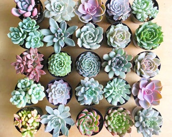"2.5"" Succulent Rosettes, 2.5"" Succulents, Wedding Favors, Party Favors, Shower Favors, Succulent Rosettes"