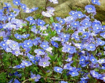 Veronica 'Georgia Blue' (Veronica Peduncularis) - ground cover - perennial plants - live plants - rock garden plant - blue flowers