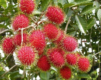100% ORGANIC & Exotic Red Rambutan Nephelium Lappaceum Fruit Tree