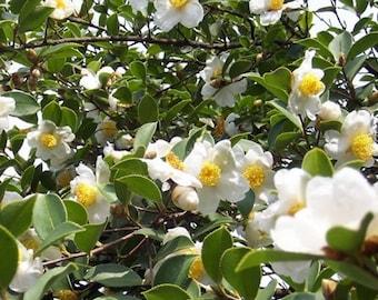 Camellia Oleifera 5 Seeds, Fragrant Edible Tea Oil Shrub Or Small Tree