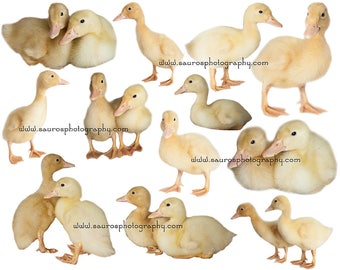 6 real baby Ducklings, png files, png overlays, Duckling overlays, animal overlays, spring ducks cutouts, instant download,Real baby ducks