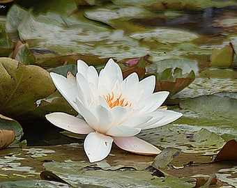 ornamental lily,lily, pond lily, pond, water, flower, white flower