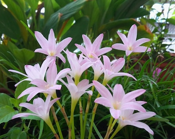 "Rain Lily Bulb, Zephyranthes ""First Love"", Rainflower, Fairy Lily, Magic Lily, Flowering Size"