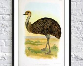 Emu Bird Print - Australian Bird Poster - Animal Print - Ornithology Print - Wall Art Print - Art-427