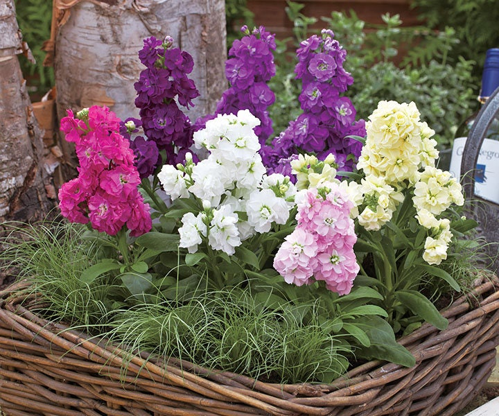 night scented stock how to grow
