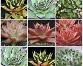 20 Echeveria mixed seeds