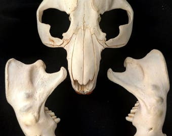 Beaver Skull, ANIMAL BONES, macabre decorations, witchcraft, found skull