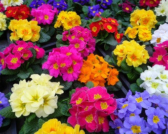 50 MIXED Colors ENGLISH PRIMROSE Primula Vulgaris Flower Seeds