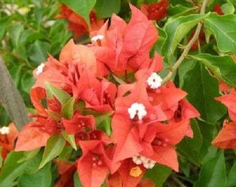 Bougainvillea - 'Flame