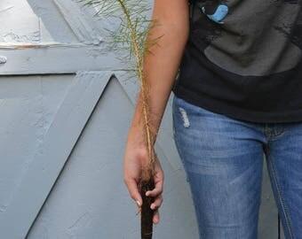 TreesAgain Scotch Pine Tree -Pinus sylvestris- 4 to 7+ inches
