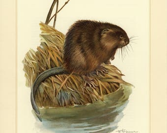 Vintage lithograph of the muskrat from 1956