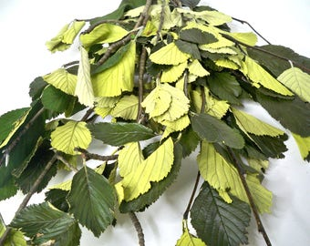 Preserved Whitebeam (Sorbus Aria/Alisier) Leaves,Preserved leaves, Green leaf, Preserved leaf for craft, Bouquet of leaves