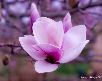 Magnolia Flower Photo Print
