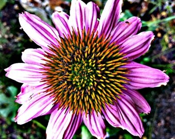 Echinacea Flower Folded Note Cards - Set of 1, 4, 8, 20, 35, 50, 75, or 100 - Blank Note Card Set - Photo Cards - All Occasions - Wildflower