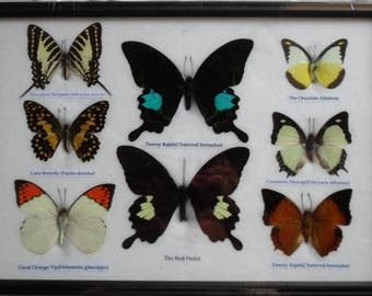 REAL 8 BEAUTIFUL FRAMED Butterfly Shop For Sale Collections Gifts Taxidermy  BF20 S