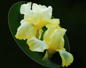 Photo art of yellow iris from my garden