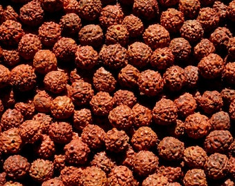 100 grams of medium size harvested in the Nepal Rudraksha