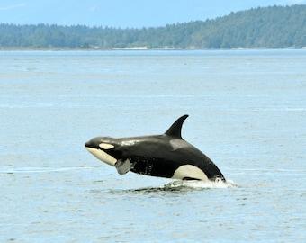 Orca - San Juan Island, Washington