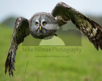 """Mounted Photographic Display Print - Great grey Owl #3 (A4 print in 14"""" x 11"""" Mount, Unframed)"""