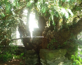 Fortinghall Yew Tree