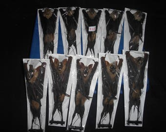 Taxidermy Fruit Bat Hipposideros Diadema Mummiefied 10 Pcs